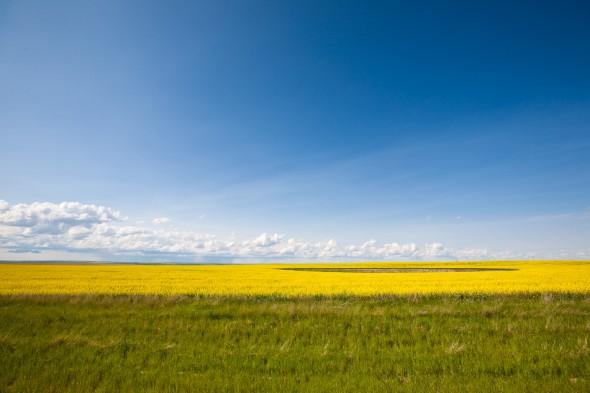 Rapeseed fields near Drumheller