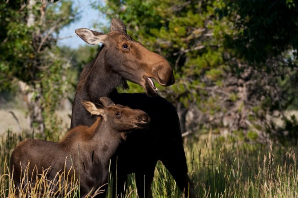 Mum and calf moose