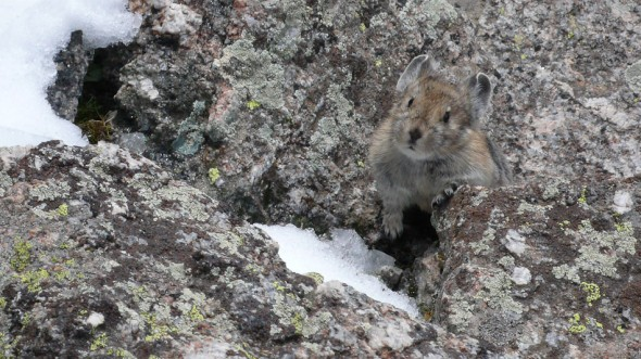 We were stoked to meet this guy, Mr Pika, on the convoluted snow-covered descent (6 abseils and some snowy scrambling)