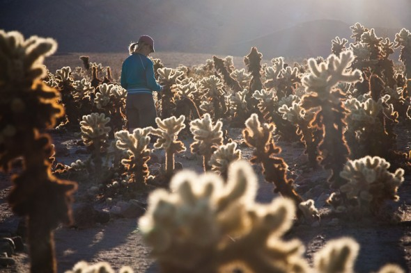 Cholla cactus forest