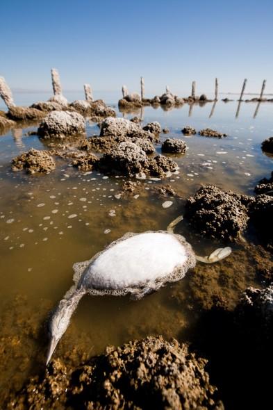 Dead grebe in the Salton Sea