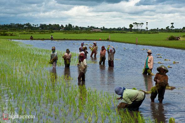 planting rice cambodia
