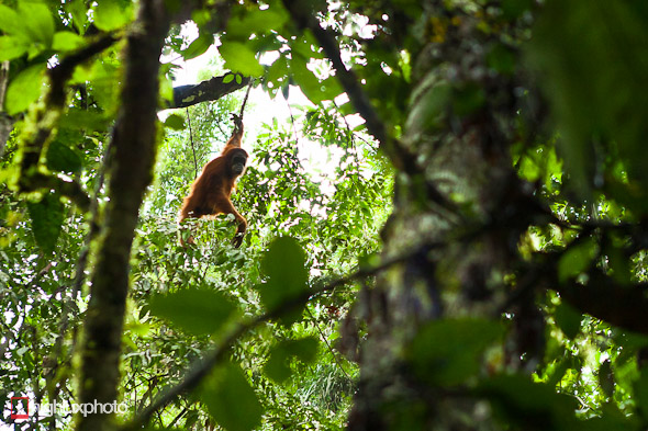 In Search of Orangutans: Takengon – Ketambe, Highlux Photography