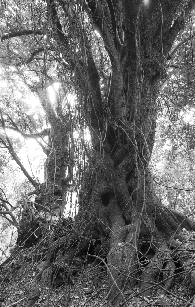 Supplejack tangled coastal forest.