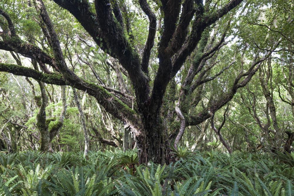 Southern Rata forest. Stewart Island/Rakiura