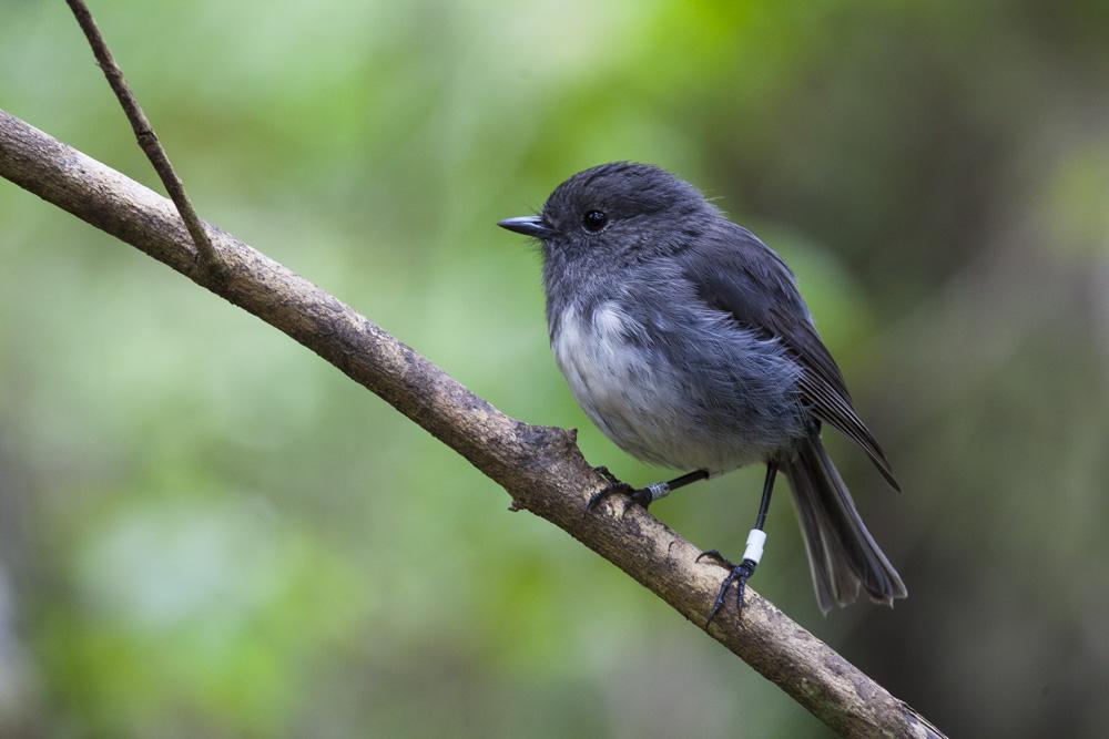 Stewart Island robin, Ulva Island.