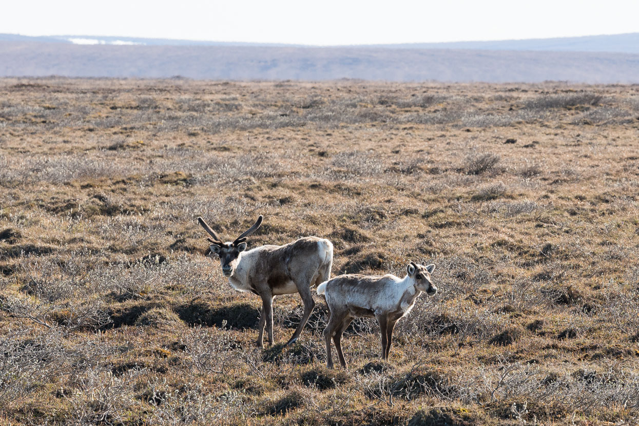 Lucky to spot caribou on the roadside.