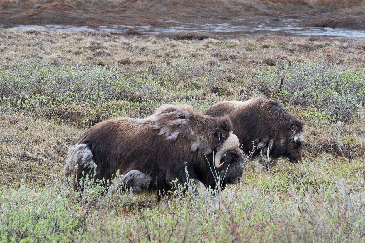 Muskox were a treat to see on the second day.