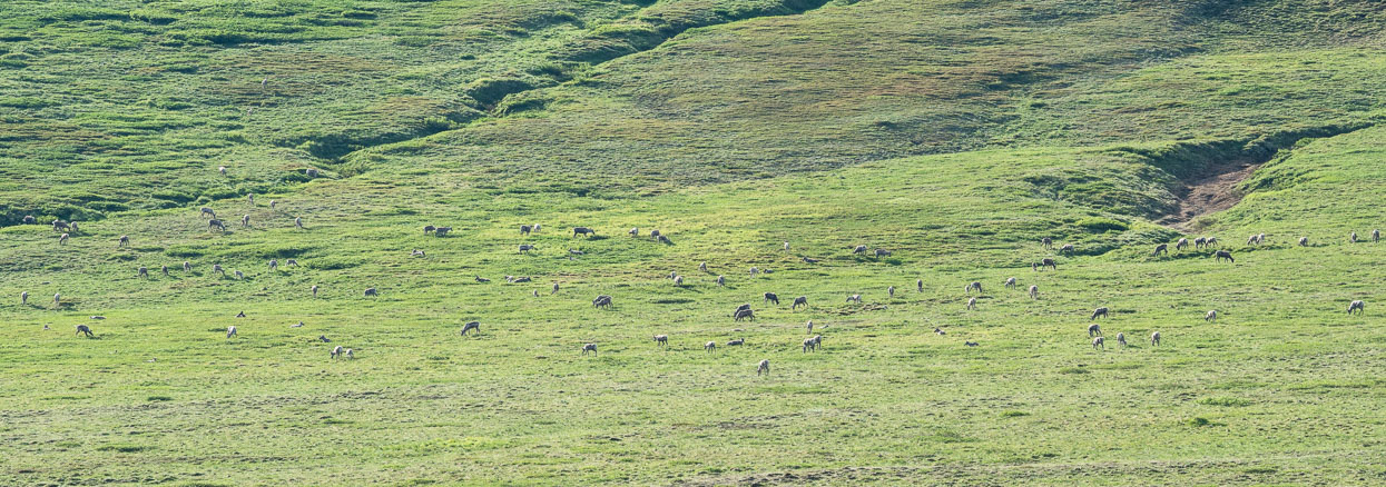 Caribou herd scattered on the mountain slopes.