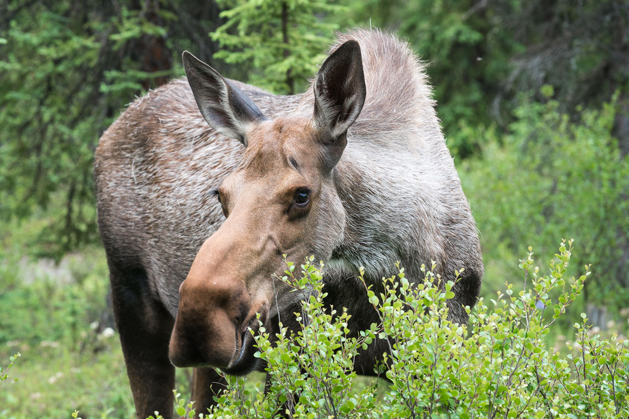 A lucky, close up female moose sighting near the park entrance.