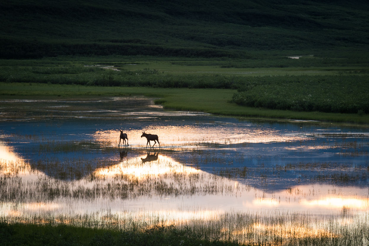While we sat on a hill above camp two moose came and danced across a shallow lake nearby – they seemed to be enjoying the evening light as much as we were.