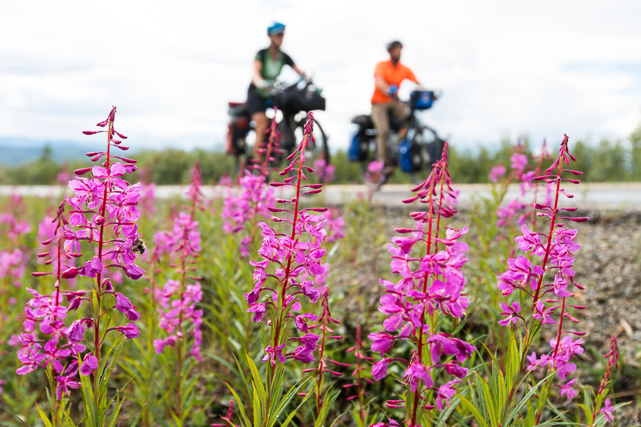 The highway's very quiet, with just the occasional RV. Vibrant fireweed lines the verges.