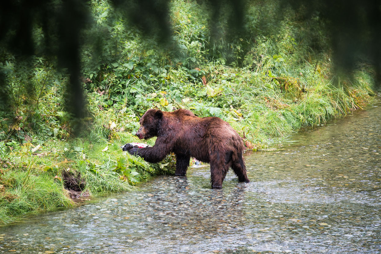 The large grizzly (a regular visitor) then entered the creek and began fishing. Panicked salmon churned the watern into a splashing froth but somehow not all could escape the massive claws and fast swipe of this beast.