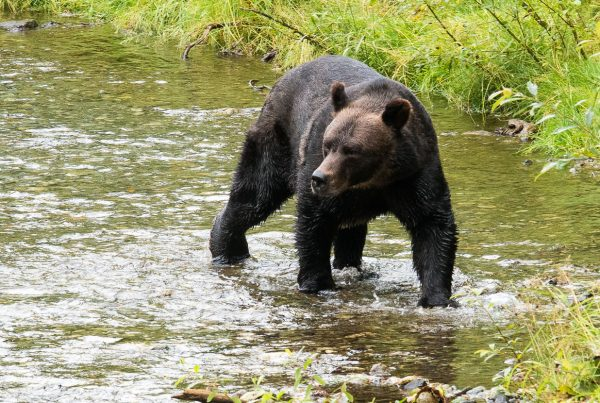 A second bear soon entered the creek.
