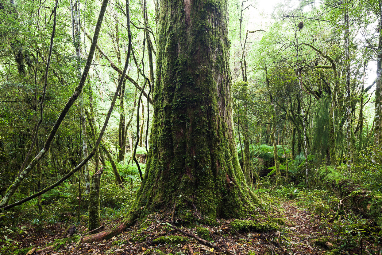 new zealand stock photo native forest mark watson
