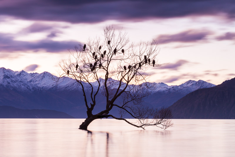 Winter willow tree, Lake Wanaka